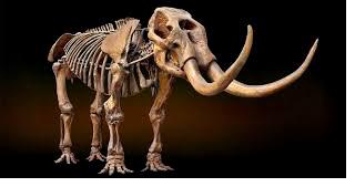 Pachyderm Skeleton